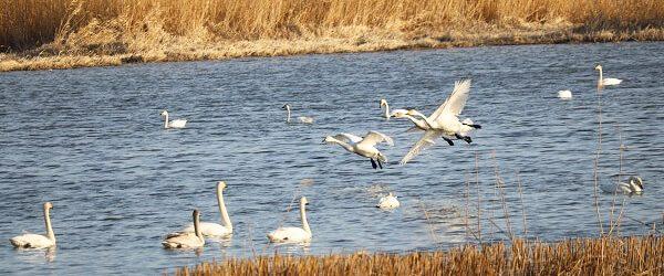 多々良沼と白鳥