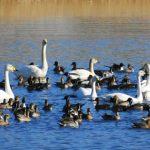 ガバ沼と白鳥