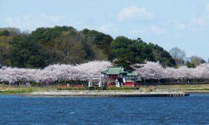 多々良沼と桜